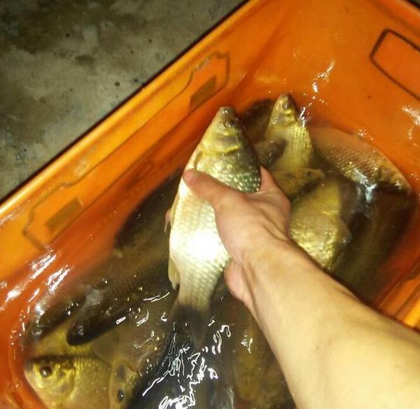 淡水鱼的高清图片之道知己知彼方爆护红烧鸡爪食谱鱼饵图片