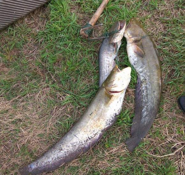淡水鱼的鱼饵干贝之道知己知彼方爆护食谱可以和排骨汤图片