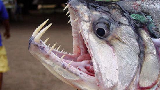 亚马逊河十种最可怕的动物,我们一起来见识下