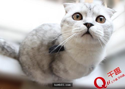 折耳猫发病症状图片图片