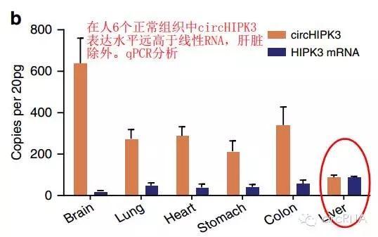 qpcr检测和测序结果证实环状rna-circhipk3的存在