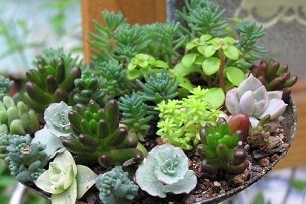 多肉植物夏季浇水技巧图片