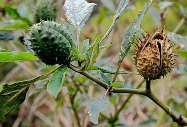被子植物门-双子叶植物纲-茄目-茄科-茄属-龙葵.图片