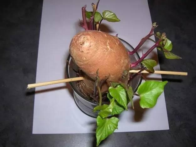 你在家种出高产红薯 全程记录红薯生长过程