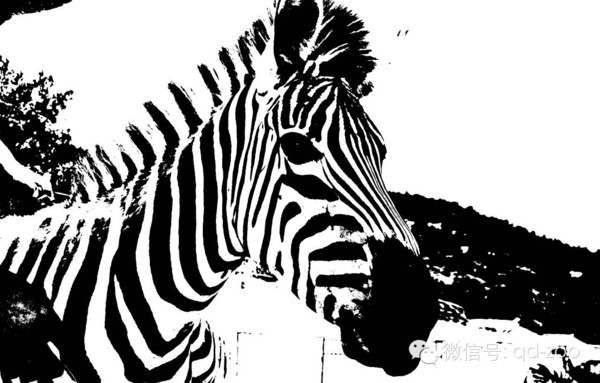 黑白印象·让我们一起发现斑马的别样美感