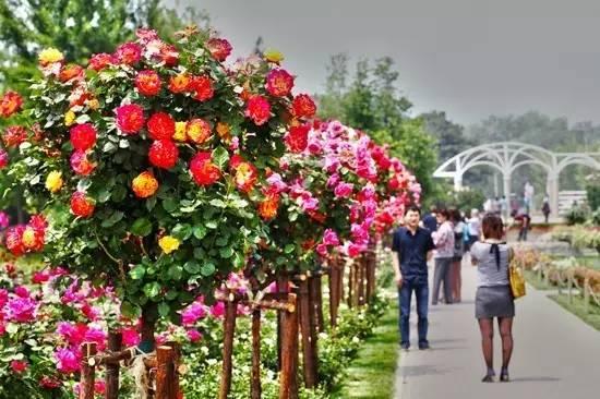 花事活动:古桩盆景展示;月季摄影大赛;月季书画现场展;中西式花仙子