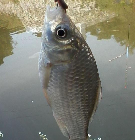 钓获大红鲤鱼