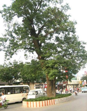 安阳最繁华的马路中间长着一棵老槐树,没人敢强拆它 | 豫记 - 豫记 - 豫记