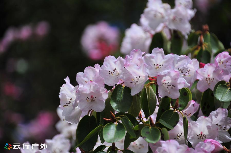 云南香格里拉—梦幻花海之夏季赏花摄影原创攻略