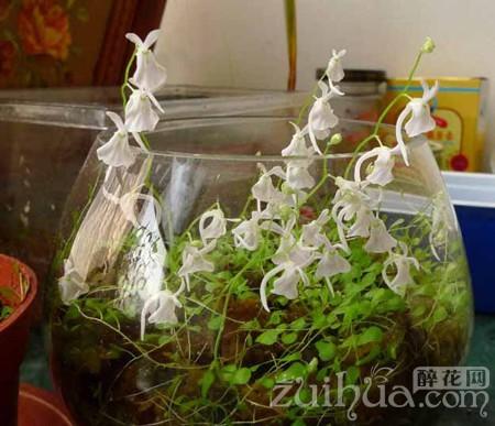 小白兔狸藻的养殖方法是什么 需要注意事项有哪些