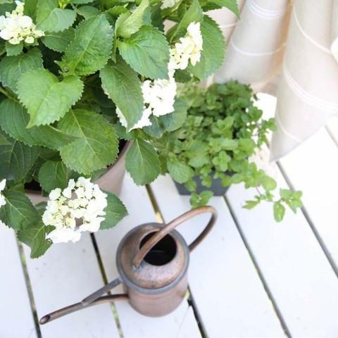 植物租摆-驱蚊植物1