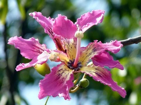 植物租摆-驱蚊植物丝棉