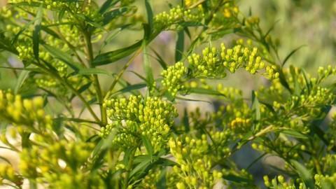 植物租摆-驱蚊植物香茅