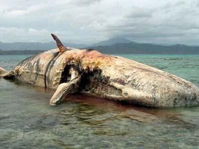 鲸鱼会爆炸吗