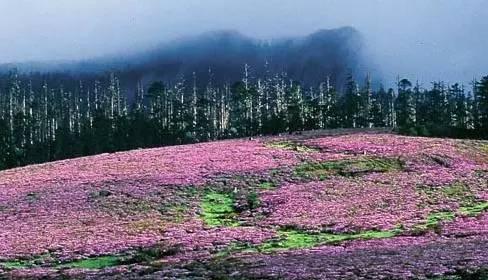 五月的香格里拉杜鹃姹紫嫣红,美若天堂,你不去看看?