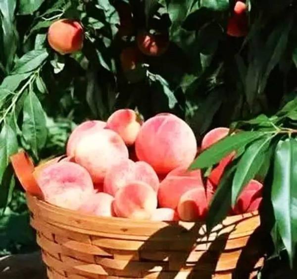 水蜜桃成熟期mp4