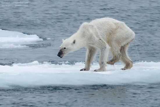 动物世界的天然呆-北极熊