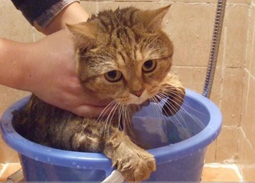 怎么给幼猫洗澡