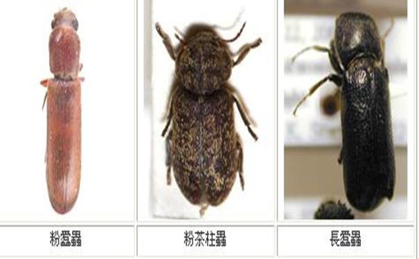 窃蠹虫_窃蠹科窃蠹虫家里出来好几只这种小虫子问一