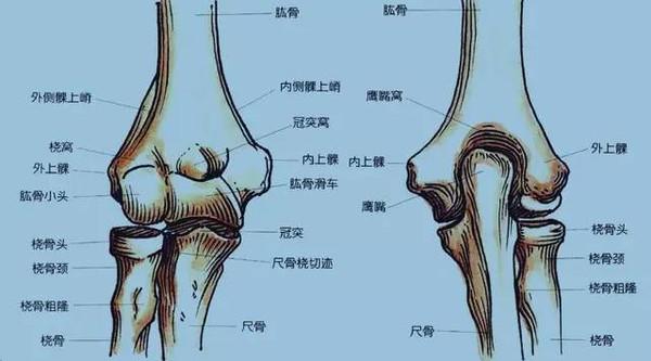 图 1 肘关节解剖示意图前面观(A)和后面观(右)-夯实基础 肱骨髁