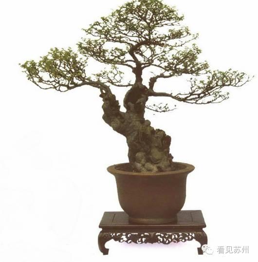 榆树盆景   龙盘凤舞 树龄约120年