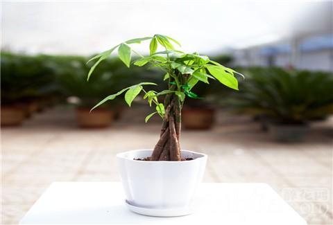 发财树叶子落叶的原因和落叶的防治措施
