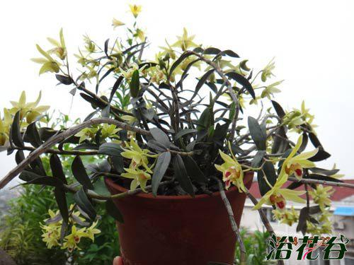 盆栽铁皮石斛种植方法