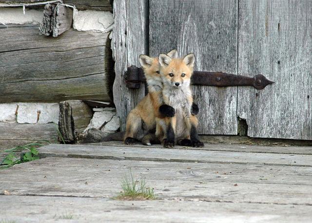 每日一PO宠:萌萌哒小狐狸,好想养一条啊!-蠢萌说