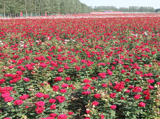 [玫瑰花的种植]家庭玫瑰花种植,基地玫瑰花如何种植