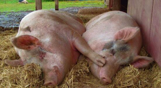 两只猪一起睡觉的照片-我只是一个养猪的 小猪的鼻子和蹄子竟是盏灯