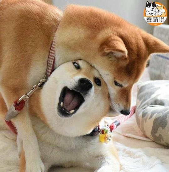 每日一PO宠:羡慕嫉妒恨,越吵架越甜蜜的柴犬小两口!-蠢萌说
