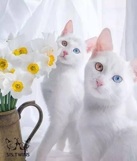 每日一PO宠:如此漂亮的猫咪,还一次来两只!-蠢萌说