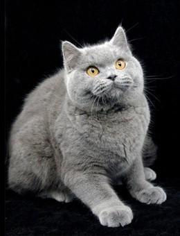 新加坡猫 英国短毛猫的祖先们可以说是