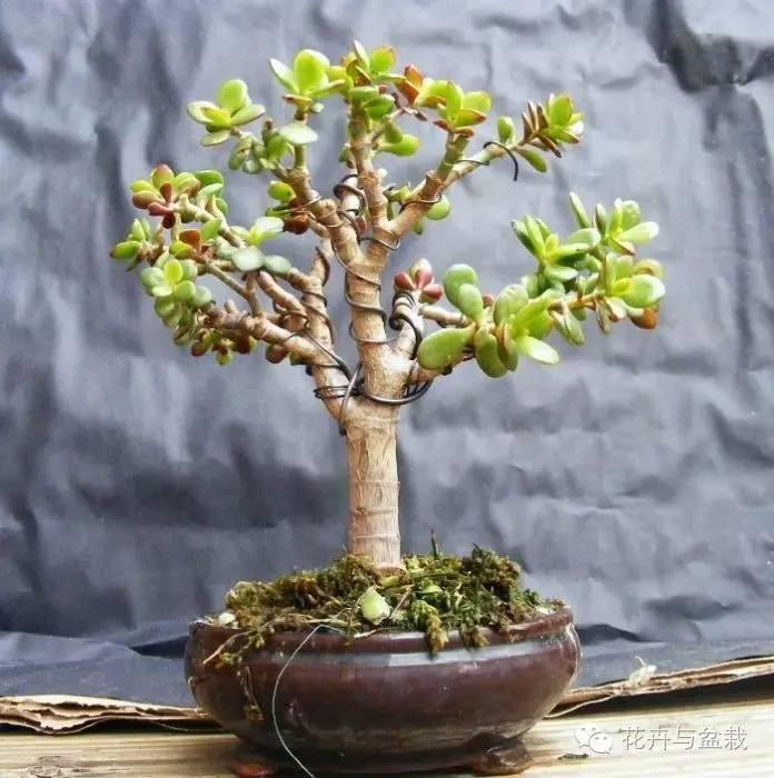 盆景植物 22种天生就是最好的盆景植物,你认识几种?