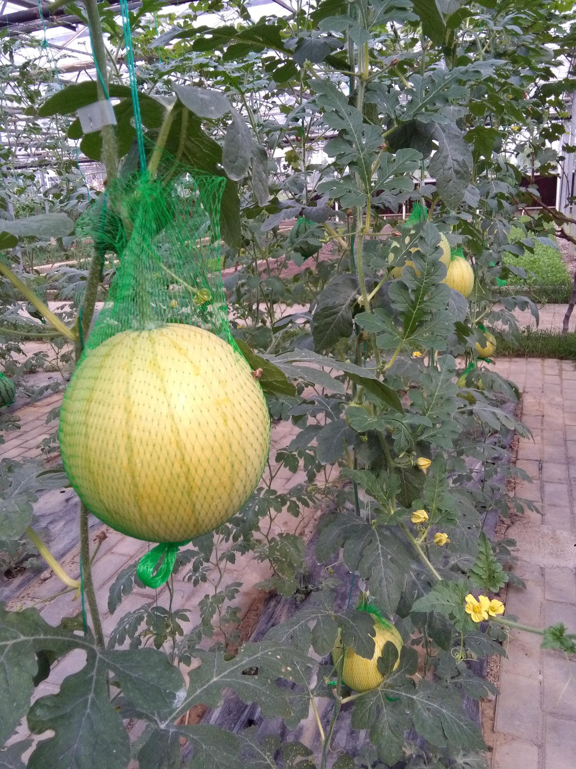 西瓜图片水果