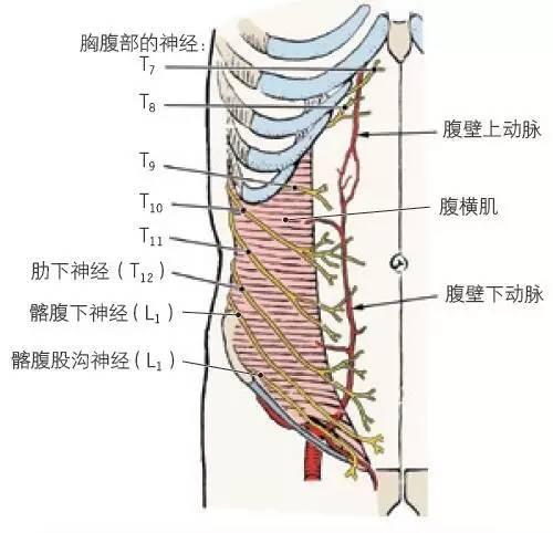 手教你学习腹部解剖 三