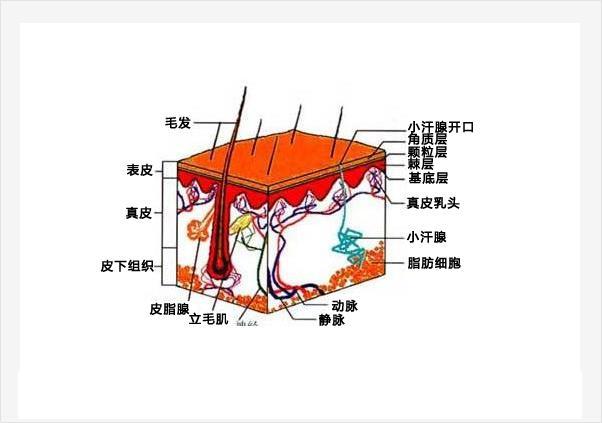 皮肤的概念及结构介绍--人体面积最大的器官