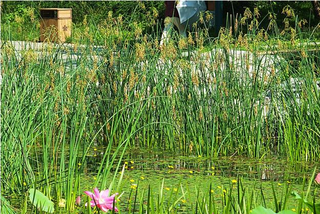 园林景观设计常见几种水景植物