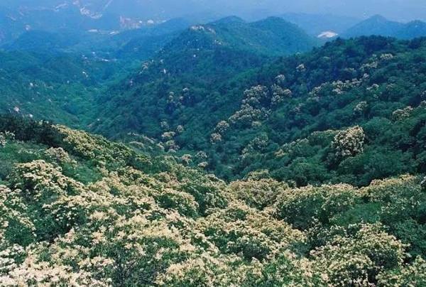 天津丁香树图片