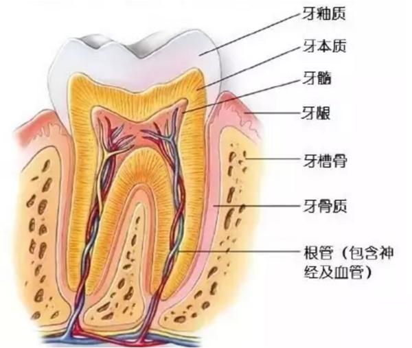 牙齿结构示意图