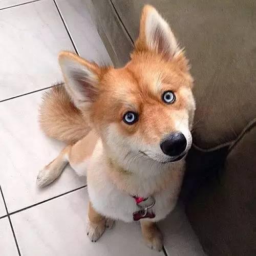 哈士奇才是多情种处处留情,狗界段正淳