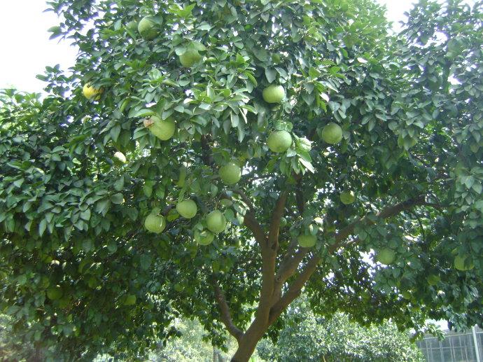 .村民全部种植柚子作为经济来源.每家每户都会种柚子,只是多少的