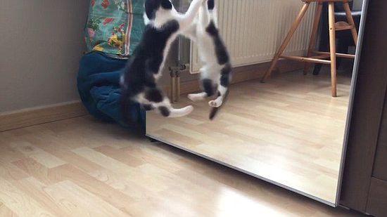 蠢萌小花猫照镜子