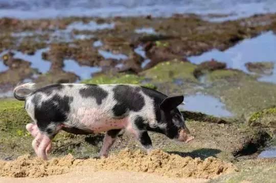 小小的猪大大的爱