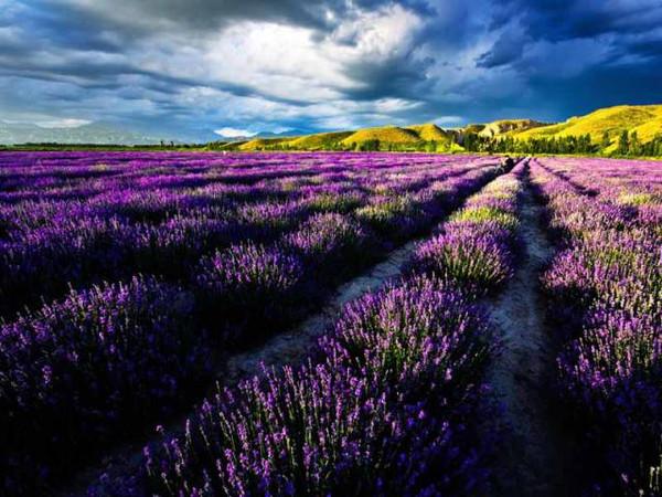 7月,普罗旺斯用尽了全世界最浪漫的紫色