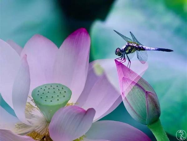 小荷才露尖尖角,早有蜻蜓立上头.图片