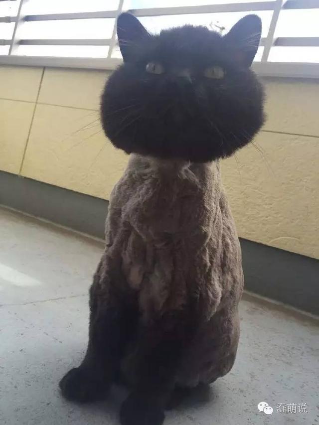 每日一蠢萌:这只剃了毛的喵星人让我想起了上个月剃的丑头-蠢萌说