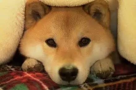 献给1阿汪|你是最迷人的秋田犬日本神经猫表情包图片