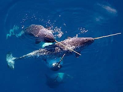 「一角鯨」的圖片搜尋結果