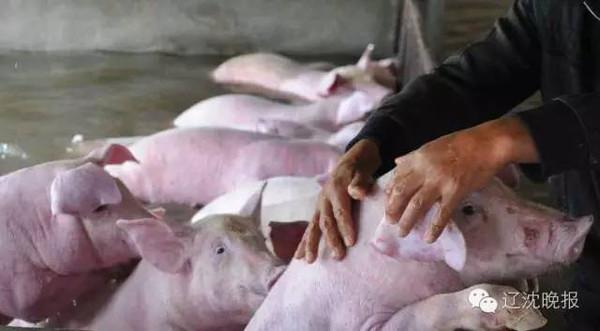 猪无法转移 它们已经没有生存的希望 虽然你们活着 也是等着有一天被
